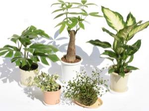 100均のおすすめ観葉植物【評価・口コミ・感想】